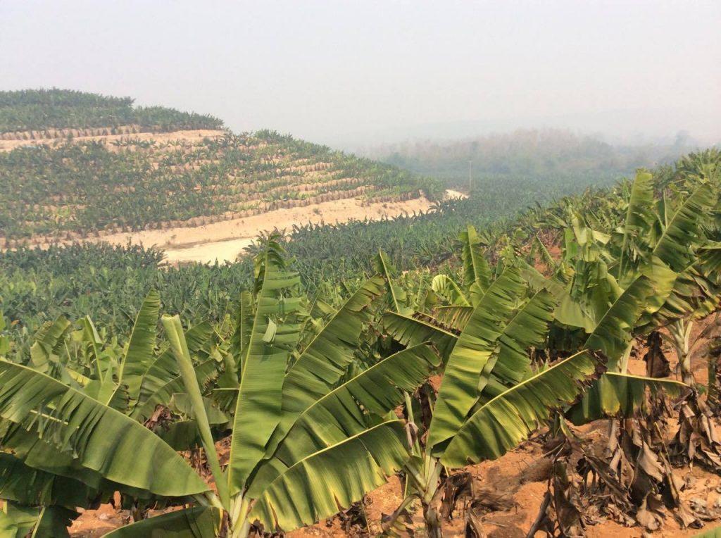 แฟ้มภาพ-สวนกล้วยหอมของนักลงทุนจีนในเมืองห้วยทราย แขวงบ่อแก้ว สปป.ลาว
