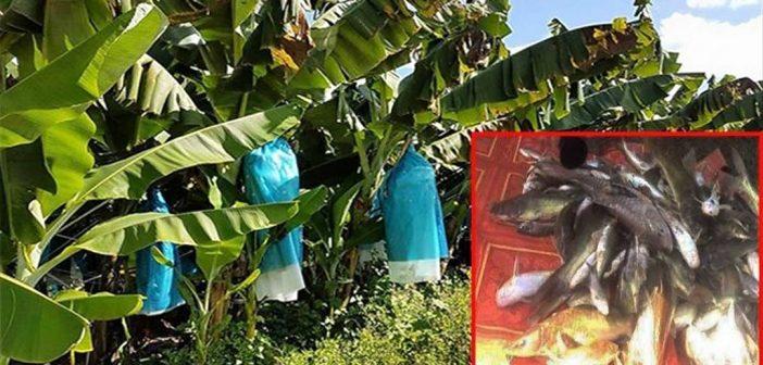 ปลาในแม่น้ำตายอีกอื้อ-สารเคมีจากสวนกล้วยจีนในลาวยังก่อมลพิษไม่หยุด