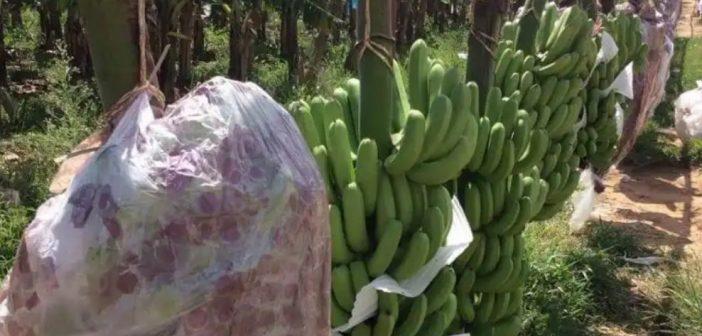 โรคตายพรายระบาดหนักสวนกล้วยหอมจีนในเชียงราย หวั่นแพร่กระจายหลายจังหวัด ผอ.ไบโอไทยชี้เชื้อรุนแรงเคยระบาดหในทวีปอเมริกาจนตายเกลี้ยงทวีป เกษตรอำเภอเร่งเก็บข้อมูลตรวจสอบ-รายงานผวจ.17 มิย.