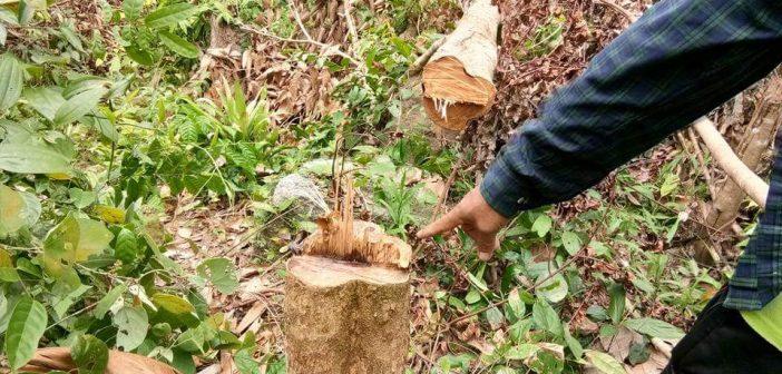 โวยอุทยานบูโดเพิ่มความหวาดระแวงแอบตัดต้นยางพารา-ลองกองของชาวบ้านทั้งที่รอพิสูจน์สิทธิ์ที่ดิน เผยสำรวจสวนดุซงอายุกว่า 100 ปี ใกล้เสร็จสิ้น เตรียมเสนอรัฐคืนสิทธิ์ชุมชน