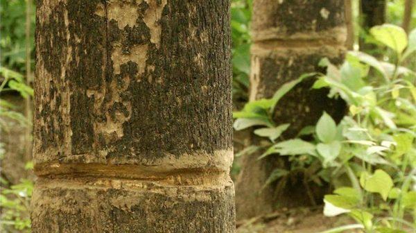 พบหลักฐานชัดลักลอบตัดไม้สักฝั่งไทย ตอไม้โผล่ประจานกลางอุทยานสาละวิน ชาวบ้านทำพิธีสาปแช่งขบวนการทำลายป่า