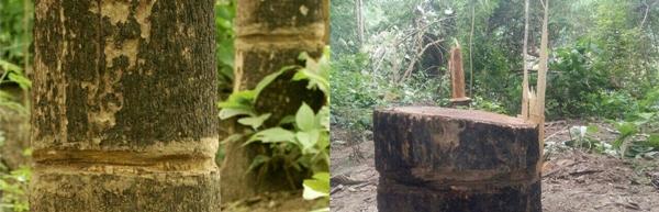 ไม้สักสองต้นในอุทยานแห่งชาติสาละวินก่อนถูกตัดและหลังถูกตัด
