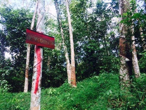 สวนยางอายุ 25 ปีของชาวบ้านที่ถูกอุทยานฯประกาศทับ ทำให้เดือดร้อน (ขอบคุณภาพจากคุณฐปณีย์ เอียดศรีไชย)