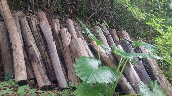 ไม้สักกองอยู่ริมสาละวินฝั่งพม่ายังมีให้พบเห็น